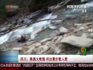 四川宝兴 偶遇大熊猫 河边漫步惹人爱